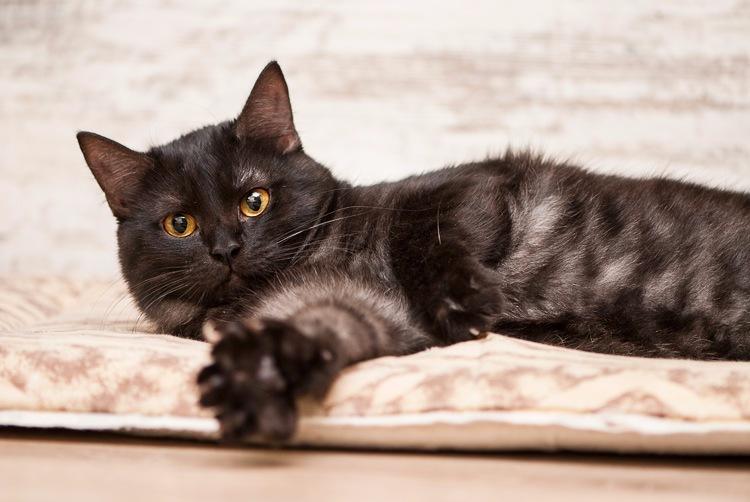 Смоки, дымчато-черный котик