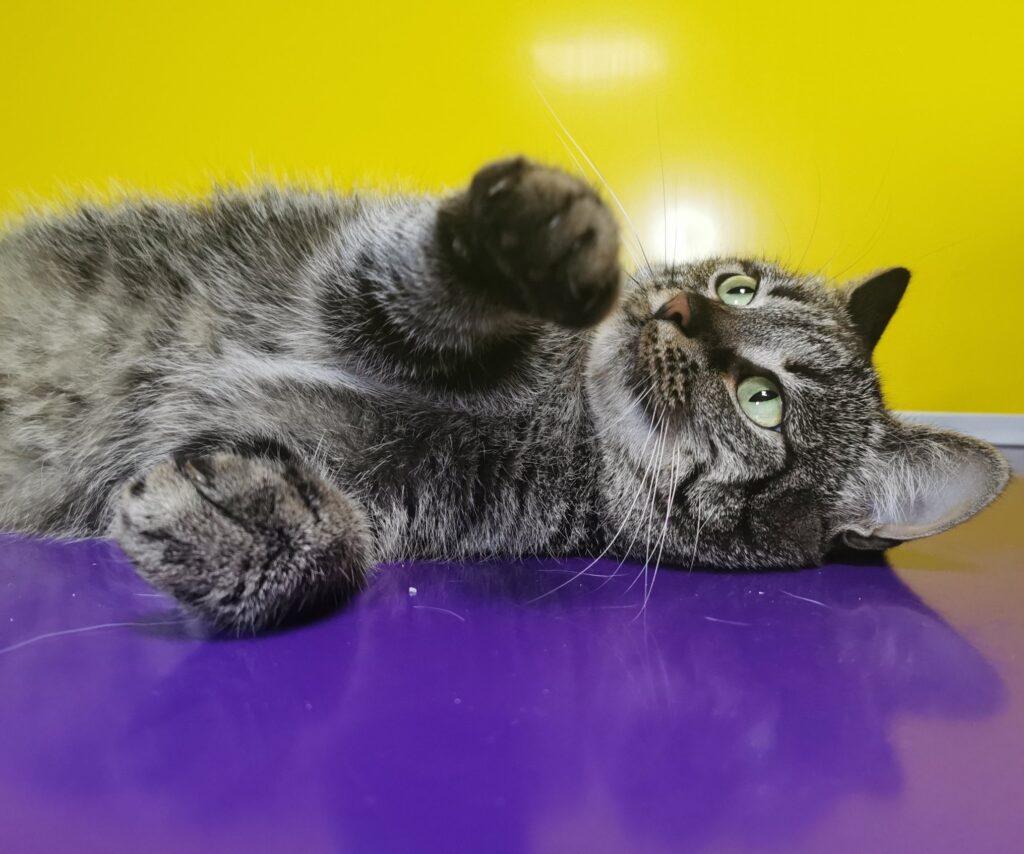 Нюша— уютная, очень позитивная семейная кошка