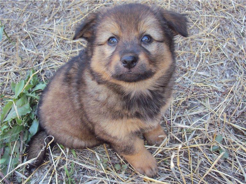 Очень пушистый, очаровательный щенок бесплатно в Днепропетровске.