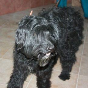 Нашлась собака черный терьер - девочка